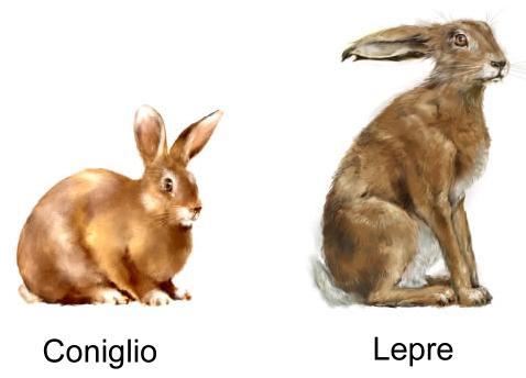 coniglio e lepre
