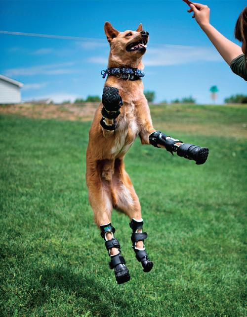 Un cane che ha perso tutte quattro le estremità delle zampe per un congelamento torna ad avere una vita normale con le protesi