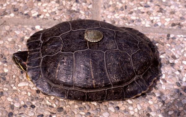 Confronto tra una tartarughina neonata e una adulta
