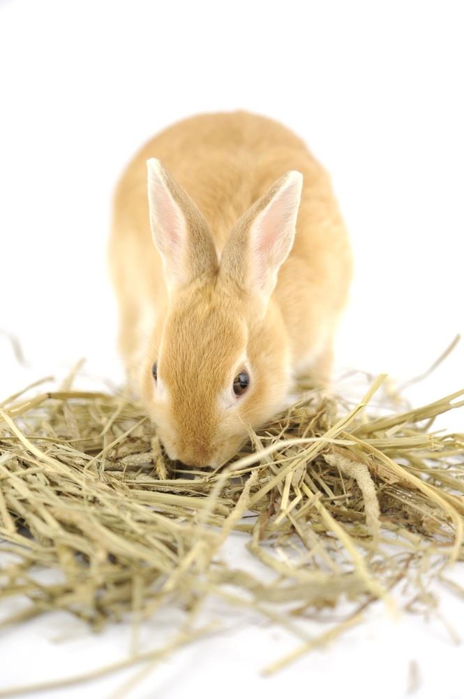 coniglio mangia fieno
