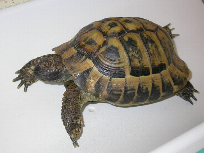 Ho trovato una tartaruga pets vets for Tartaruga di terra in casa