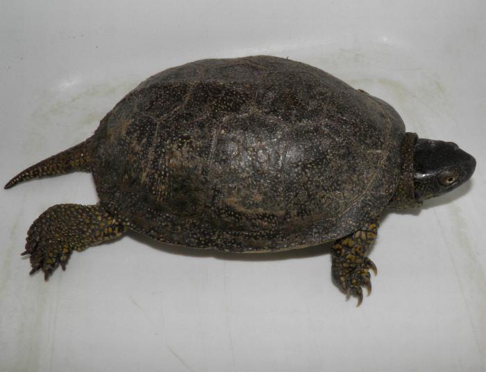 Ho trovato una tartaruga pets vets for Tartarughe acquatiche vendita