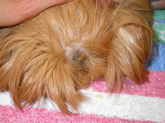 La parte posteriore del dorso è ricca di ghiandole sebacee che possono imbrattare il pelo