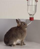 coniglio beverino