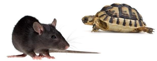 tarta e ratto