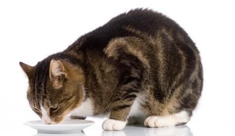 gatto latte