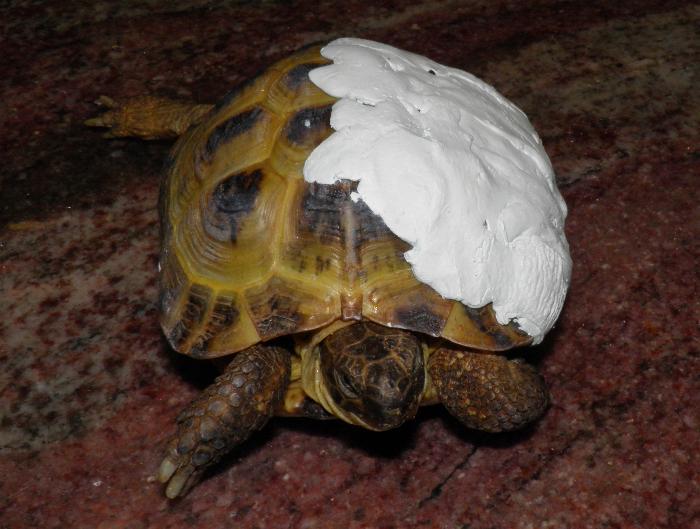 Primavera iniziano i traumi per le tartarughe pets vets for Tutto per le tartarughe