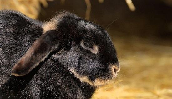 dolore nel coniglio