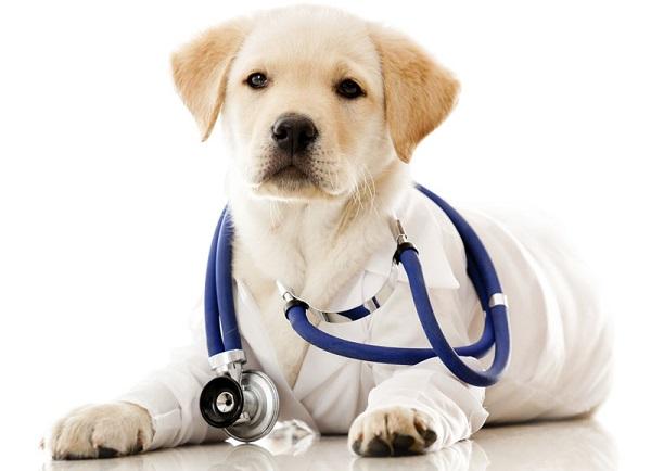 cuore sano cane