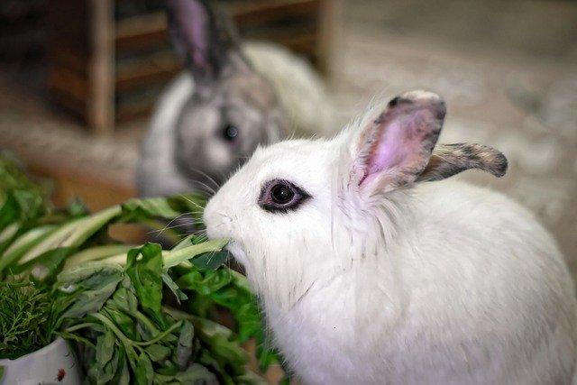 pericoli coniglio